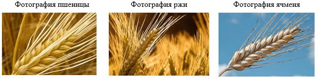 Фотография схожих по структуре и внешнему виду сельхоз культур (пшеницы, ржи, ячменя)
